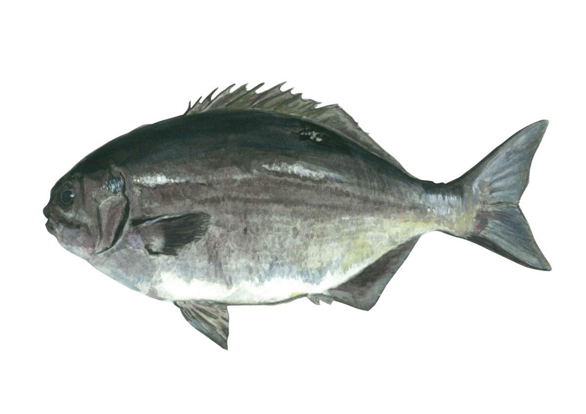 未利用魚のひとつ、ブダイ。